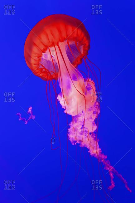 Pacific Sea Nettle Jellyfish, Shanghai Aquarium, Shanghai, China
