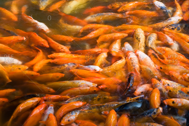 Koi Carp fish  in an outdoor pond