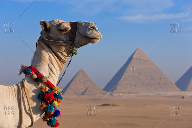 Side-view of camel and view of  Pyramids, Giza, Egypt