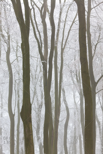 Trees with snow and frost in near Wotton, Glos, UK