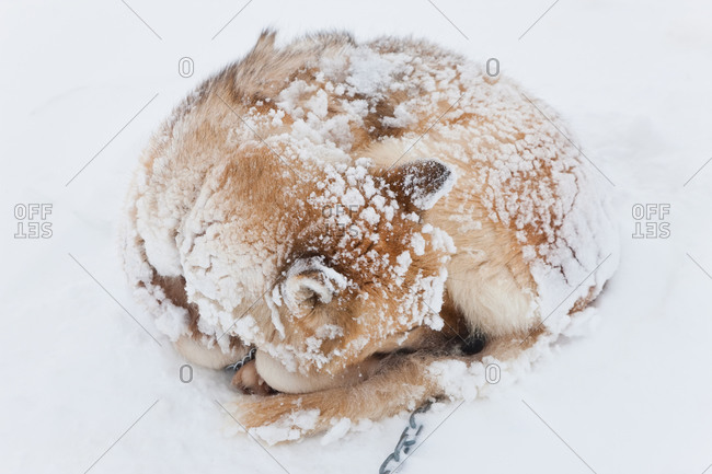 Husky curled up in snow in Tasiilaq, Greenland