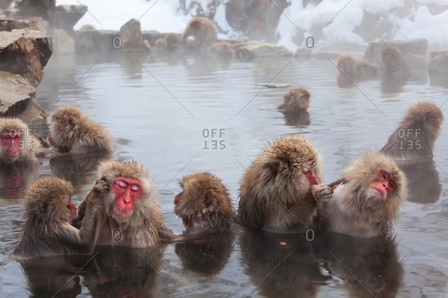 Snow monkeys grooming in hot spring