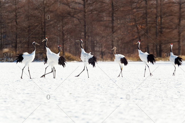 Red crowned cranes in the snow in Hokkaido, Japan