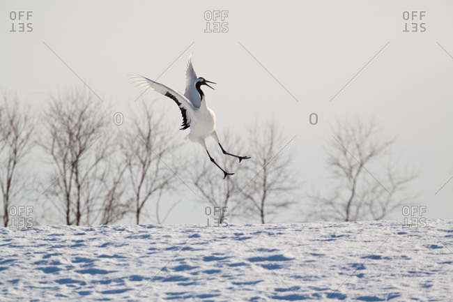 Red crowned crane in flight in Hokkaido, Japan