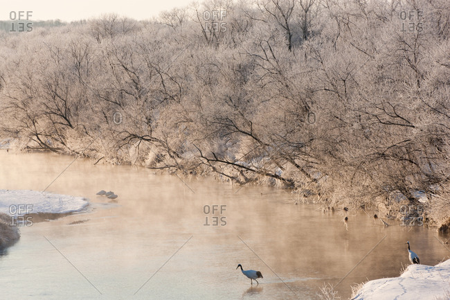 Red crowned cranes in frozen river at dawn in Hokkaido, Japan