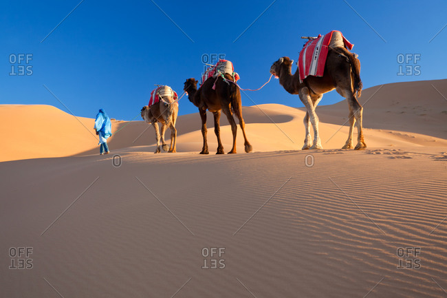 Tuareg man leading camel train in the Sahara Desert
