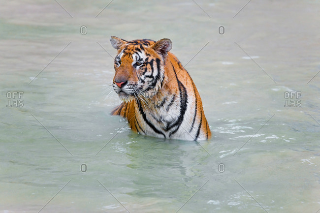 Tiger sitting in the water, in Thailand