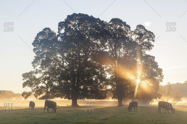 Cows standing on the field at sunrise, in Usk Valley, South Wales