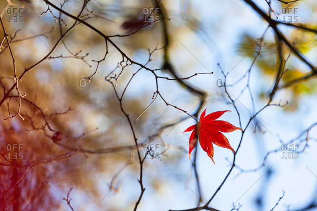 A single leaf in autumn colors on a branch in the Westonbirt Arboretum, Gloucestershire, UK