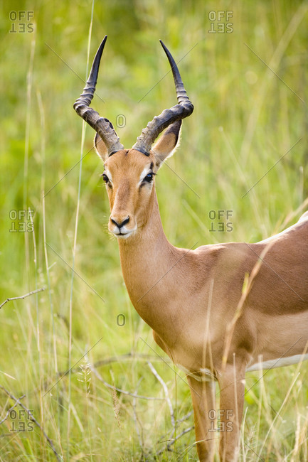 Africa, Cape Town, Impala antelope in long grass