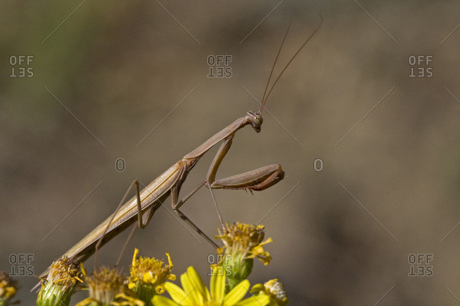 Praying Mantis (Mantis religiosa), close-up