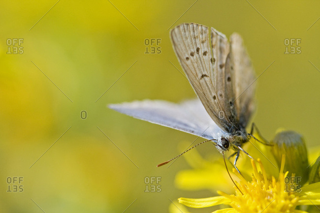 Common blue butterfly (Polyommatus icarus) resting on flower