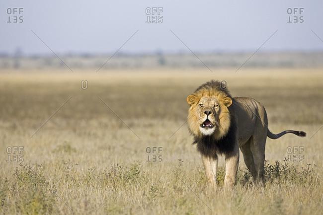 Africa, Botswana, Adult male lion (Panthera leo) roaring