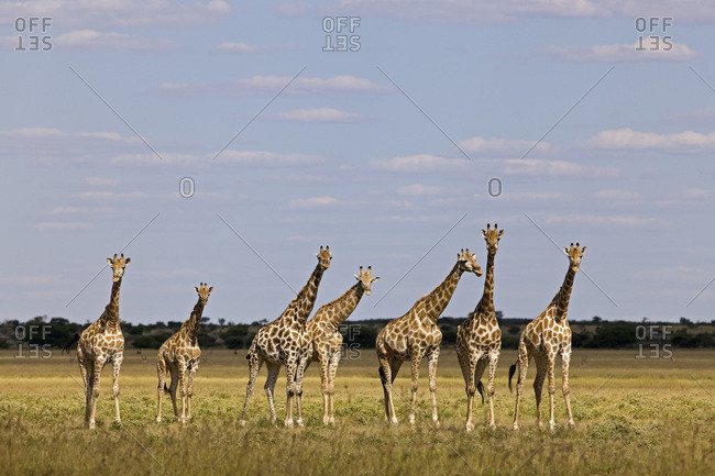 Africa, Botswana, Giraffe Herd (Giraffa camelopardalis)