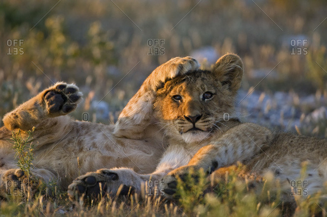 Africa, Botswana, Two lion cubs (Panthera leo)