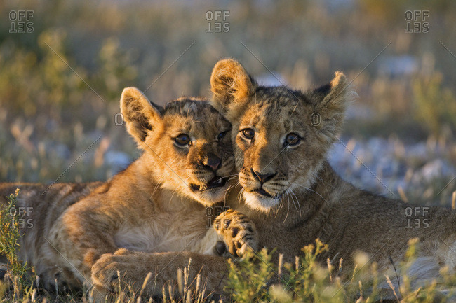 Africa, Botswana, Two lion cubs (Panthera leo)