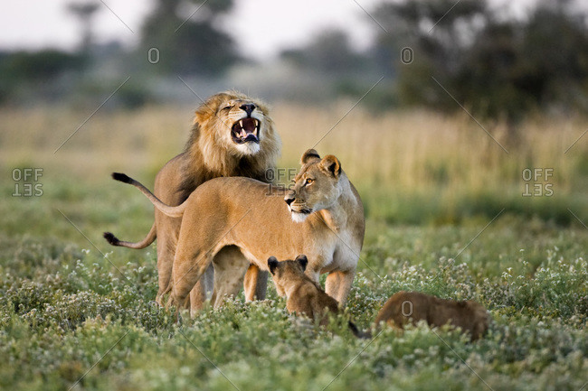 Africa, Botswana, African Lion (Panthera leo) Lioness (Panthera leo) and cubs