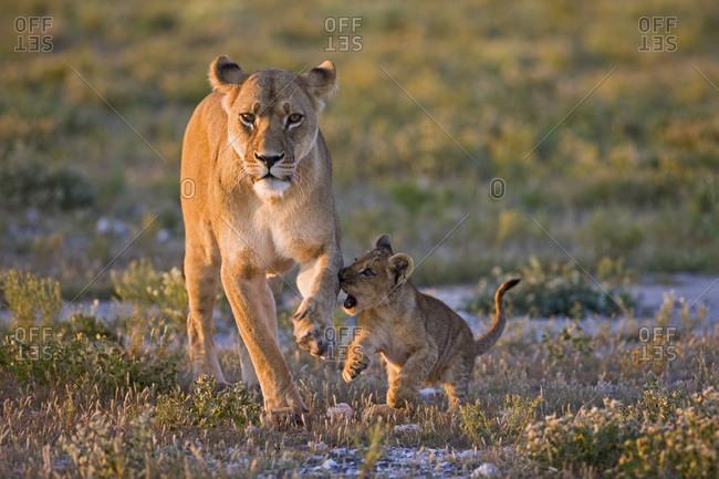 Africa, Botswana, Lioness (Panthera leo) and cub