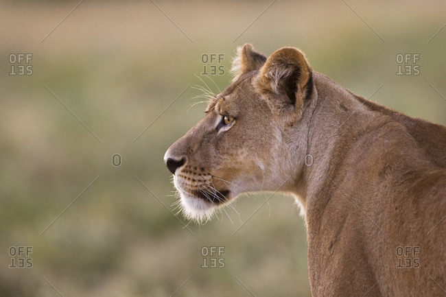 Africa, Botswana, Lioness (Panthera leo) in grass watching