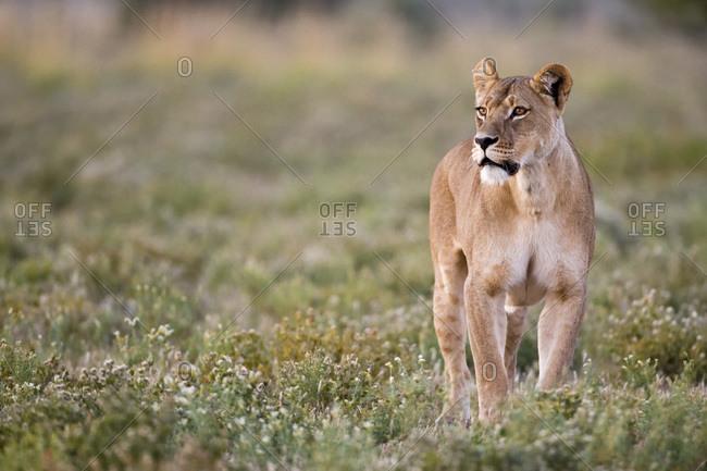 Africa, Botswana, Lioness (Panthera leo) in grass watching