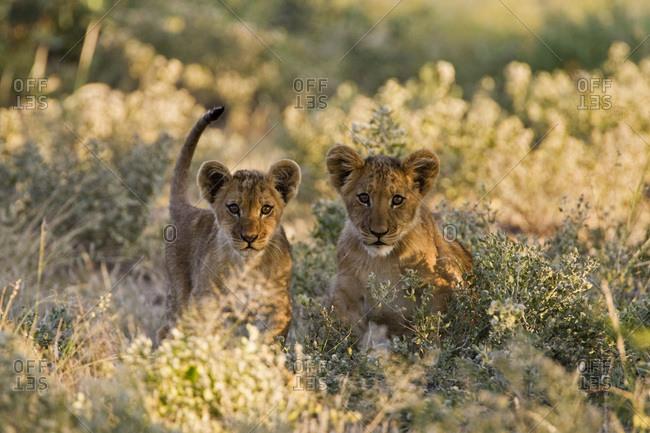 Africa, Botswana, Lion cubs (Patnera leo)