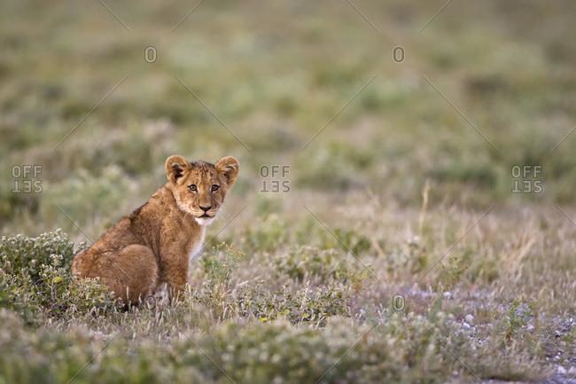 Africa, Botswana, Lion (Panthera leo) cub sitting in grass,