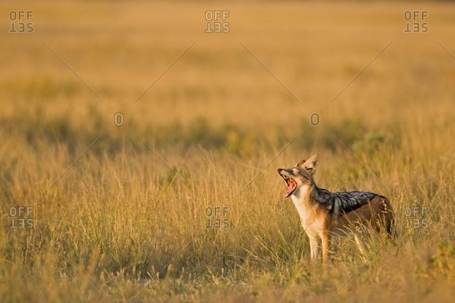 Africa, Botswana, Black-backed Jackal (Canis mesomelas) Yawning