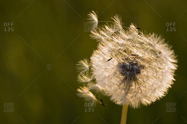 Germany, Bavaria, Wind blowing on dandelion