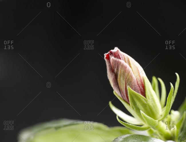 Hibiscus flower, Bud, close-up
