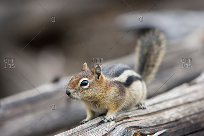 USA, Yellowstone Park, Chipmunk (Tamias) on tree trunk