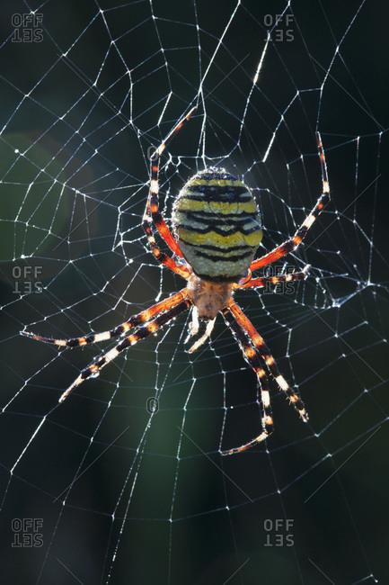Germany, Bavaria, Wasp Spider (Argiope bruennichi), close-up