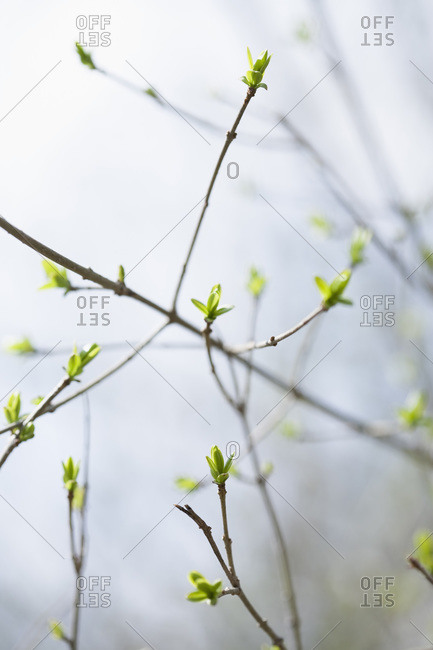 Greece, Buds in morning mist, close-up