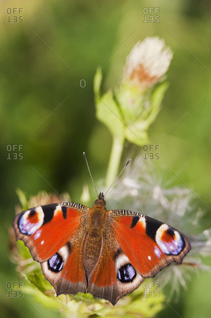 Germany, Bavaria, Peacock butterfly (Inachis io) on flower, close-up