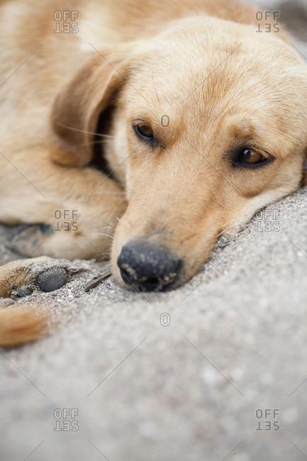 Dog lying in sand, portrait