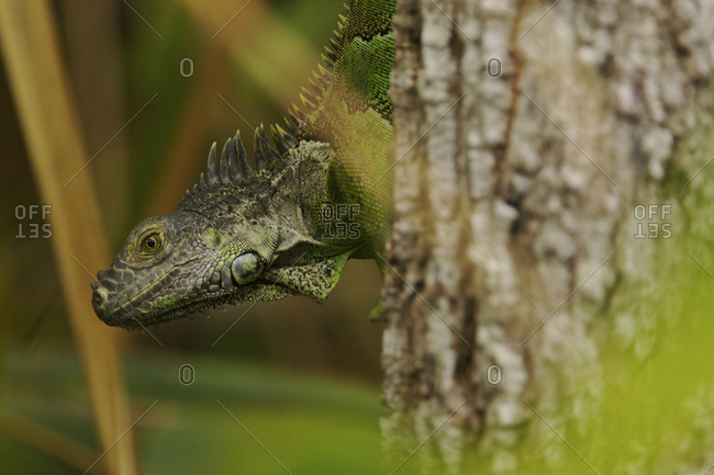 Green iguana, Iguana iguana, clinging to a tree trunk.
