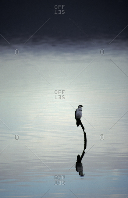 A Little Pied Cormorant reflected on a vast becalmed harbour lake.