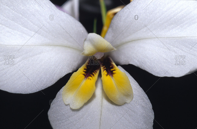 A flower petal detail of the Butterfly Flag, also known as Iris Fan.