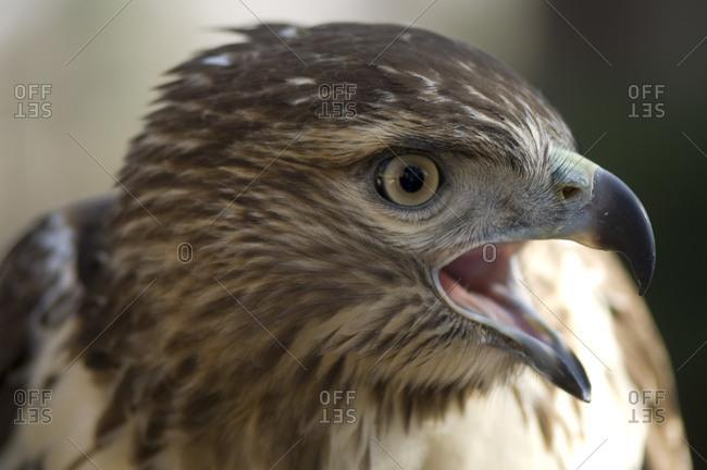 A red-tailed hawk in Lincoln, Nebraska.
