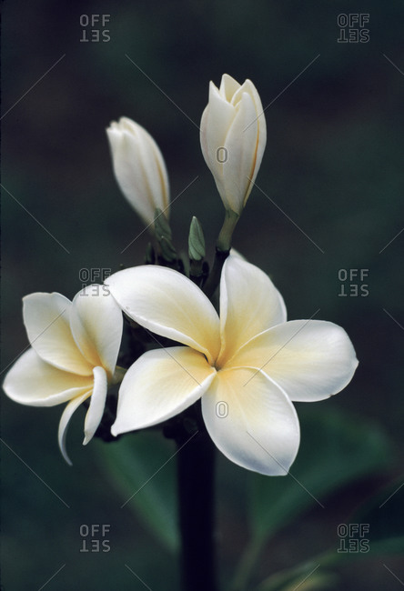 Close view of a delicated plumeria flower.