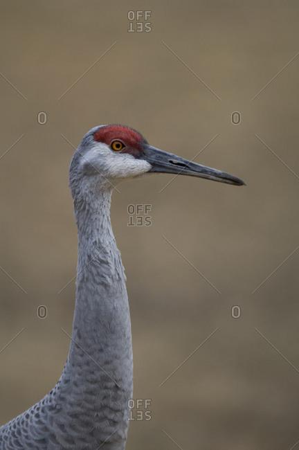 Florida sandhill crane (Grus canadensis pratenis) at Bramble Park Zoo.