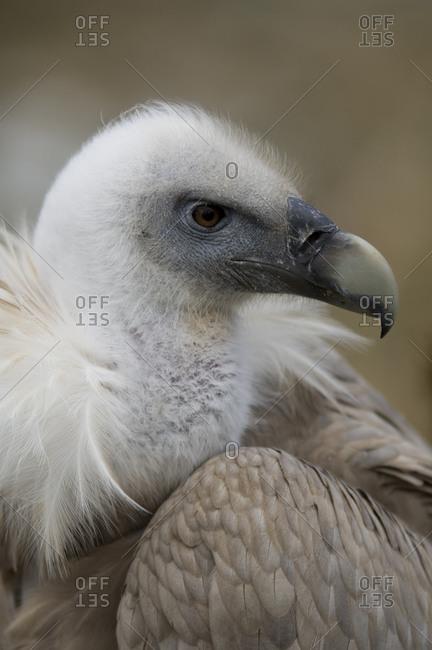 Eurasian griffon vulture (Gyps fulvus) at the Cheyenne Mountain Zoo.