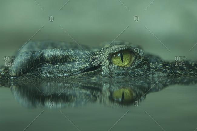 Siamese crocodile (Crocodylus siamensis) at the Denver zoo.