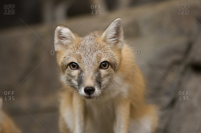 A swift fox (Vulpes velox) at the Henry Doorly Zoo.