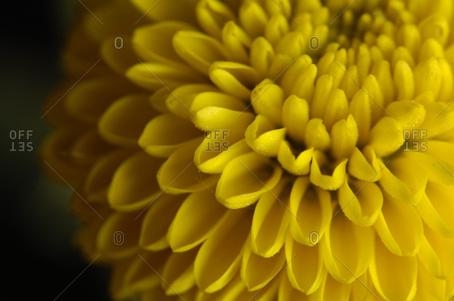 A bouquet of button chrysanthemums (Chrysanthemum morifolium).