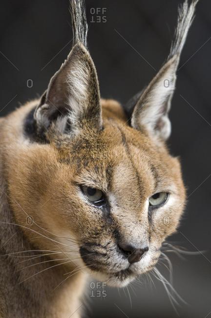 A caracal lynx (Caracal caracal) at the Great plains Zoo.