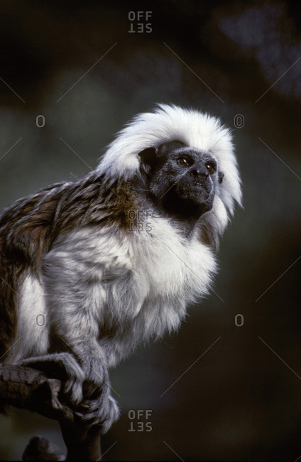 Portrait of a Cotton-Top Tamarin, and detail of fur coat and face.