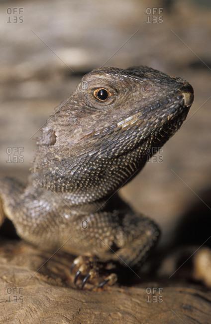 A Jacky Lizard, Lashtail Dragon, head, eye and mouth detail.
