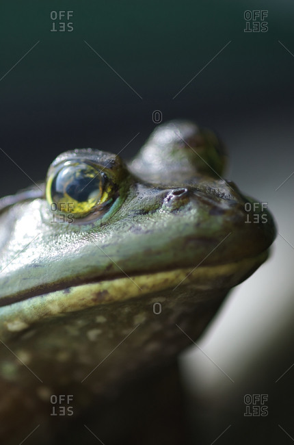 A bullfrog (Rana catesbeiana) sits on a dock.