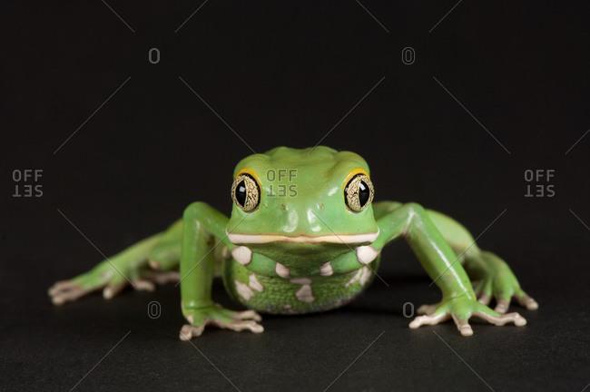A waxy monkey frog (Phyllomedusa sauvagii).