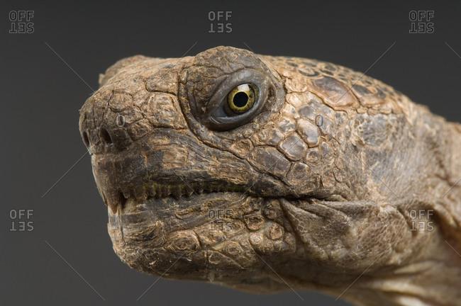 Arizona desert tortoise (Gopherus agassizii).